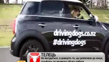 В Новой Зеландии защитники бездомных животных научили собак водить авто
