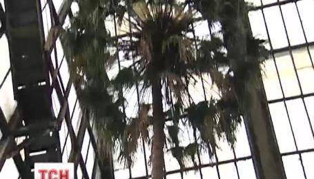 В Украине расцвела старейшая пальма из Австралии