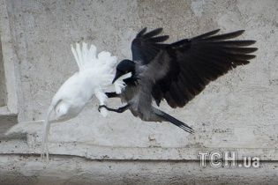 Ворон заклював голубів миру, випущених Папою Римським після молитви за Україну