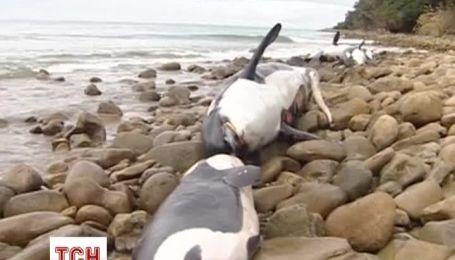 В Новой Зеландии обеспокоены массовой гибелью китов