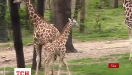 В бронкском зоопарке в Нью-Йорке к публике впервые вышел детеныш жирафа