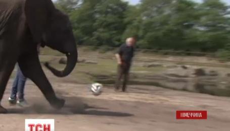 В немецком зоопарке слоненок Нелли делает футбольные прогнозы