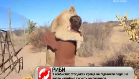 Интернет растрогал ролик с ласковой львицей и ее смотрителем