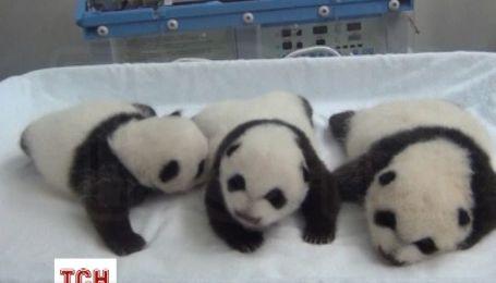 В Китае показали тройню панд, которые впервые увидели мир