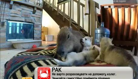 Самка Капибара стала мамой для щенков