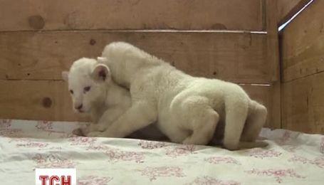 В белградском зоопарке показали двух новорожденных белых львов
