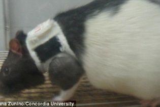 Канадські вчені з'ясували, що щурам теж подобається сексуальна білизна