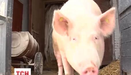В Сумской области нашли вепря, больного африканской чумой свиней