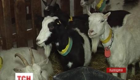 В теплые, чистоте и под музыку живут на Львовщине альпийские козы