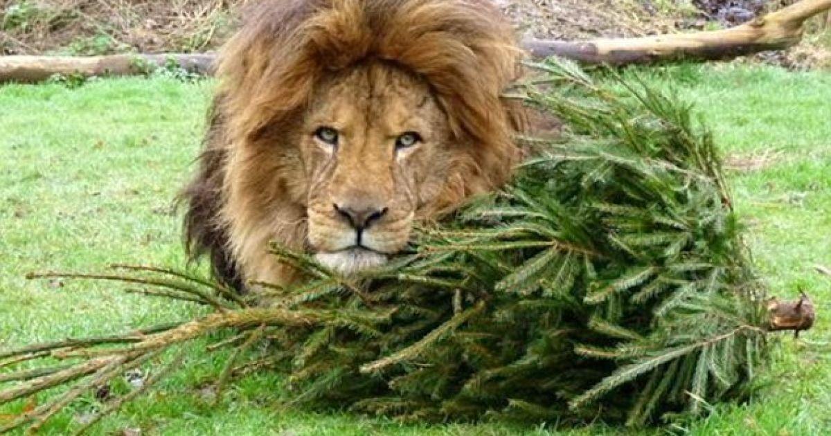 """""""Кашляли та чхали"""": четверо левів заразилися коронавірусом у зоопарку в Барселоні"""