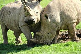 """Пару носорогов """"накачают"""" супер-дозой """"виагры"""", чтобы они наконец перестали быть друзьями"""