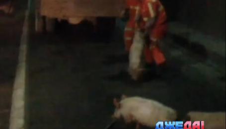 Одну из трасс китайской провинции оккупировали свиньи