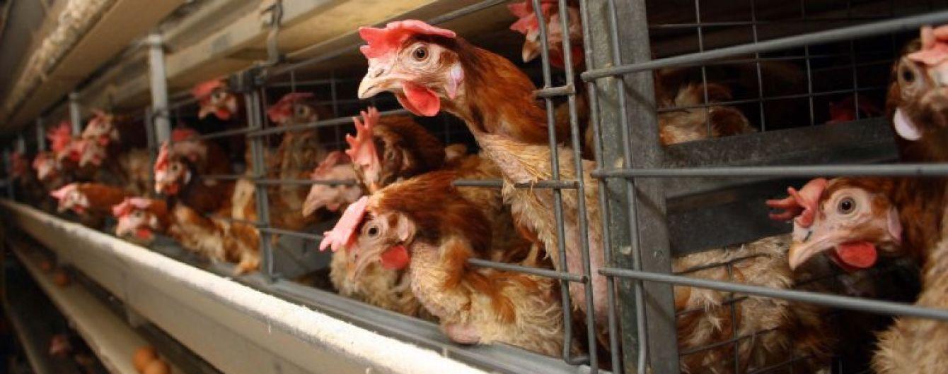 Израиль разрешил импортировать куриные яйца из Украины
