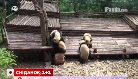 """Сеть """"подорвало"""" видео массовой драки панд"""