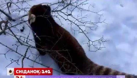 Реакция красных панд на первый снег насмешила Интернет-пользователей