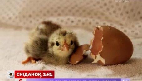 В Великобритании возникла нехватка специалистов по определению пола цыплят