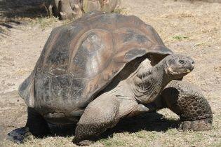Впервые за столетия родились новые гигантские галапагосские черепахи