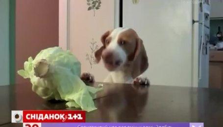 Интернет покоряет пес, фанатеющий от капусты