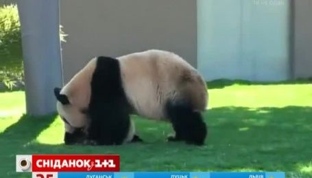 Мама-панда замучила сына желанием поиграть