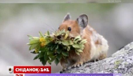 У Китаї відшукався чарівний кролик, якого не бачили більше 20 років