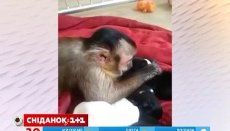 Заботливая обезьянка покорила Интернет уходом за щенками