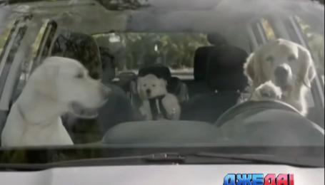 Американцы хотят разрешить домашним животным иметь собственные автомобили