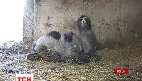 В Одесском зоопарке пополнение, там родились двое верблюжат