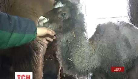 В Одесском зоопарке родились двое верблюжат