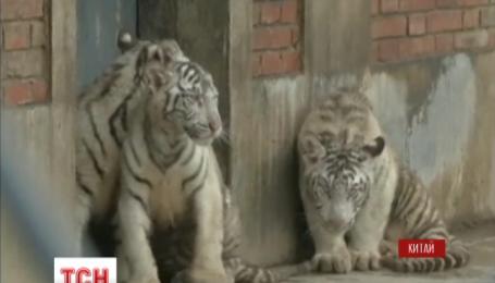 Тройня редких белых бенгальских тигрят из китайского зоопарка отметила первые сто дней