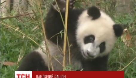Тройня пандочок из китайского зоопарка стала интернет-звездами