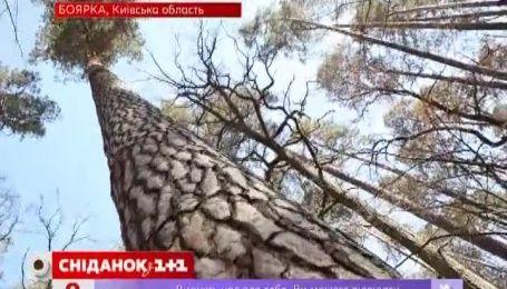 Боярка - лабораторія, де одночасно вирощують мільйони дерев