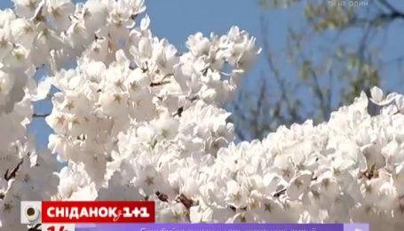 В Вашингтоне горожане вышли любоваться цветущей сакурой