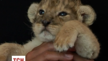 Новорожденных львят показали посетителям зоопарка в Японии