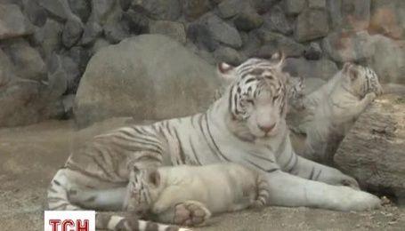 Редких белых тигрят показали в одном из японских зоопарков