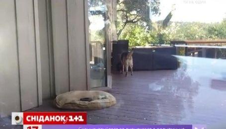 Овчарка, которая укладывает спать щенка, насмешила интернет-пользователей