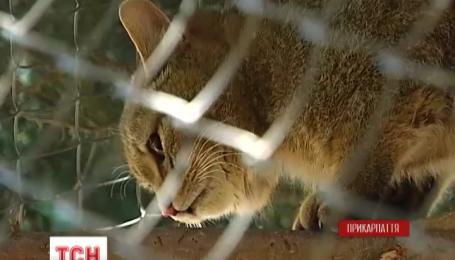 На Прикарпатье ветеринары спасли пару лесных котов