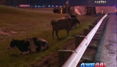 В Америке водитель грузовика потерял коров