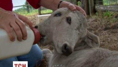 Двухголовый теленок родился во Флориде