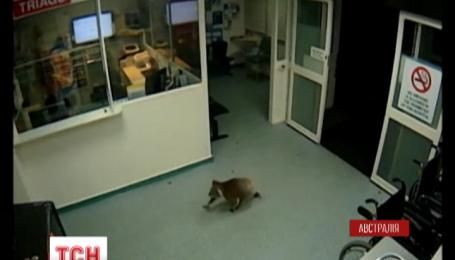 Любопытная коала из Австралии стала звездой Интернета