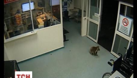 Коала розгулювала лікарнею в Австралії