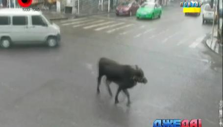 Китайские полицейские на дороге ловили быка