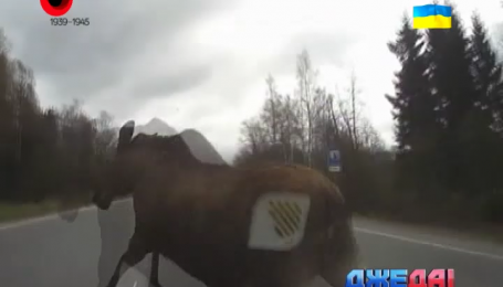 Российский водитель сбил лося на дороге. Подборка мировых аварий