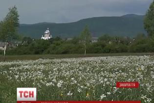 На Закарпатті розквітли 250 гектарів унікальної Долини нарцисів