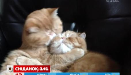 Видео о поцелуях двух котиков посмотрели полмиллиона раз