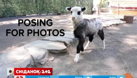 В американском зоопарке родился ягненок-панда