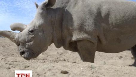 Одного из пяти редких белых носорогов лечат в США