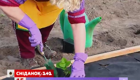 С помощью агроволокна намного легче выращивать клубнику