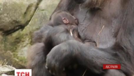 В сиднейском зоопарке состоялся первый выход в свет маленькой гориллы