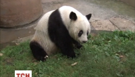 В Китае живет самая старая панда