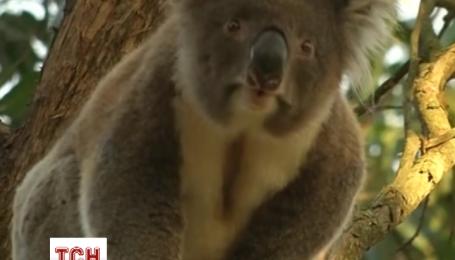 В Австралии коалы страдают от недоедания
